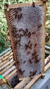 Capped honey frame - the london bee company
